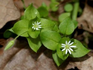 Living Off the Land: 52 Highly Nutritious, Wild-Growing Plants You Can Eat Chickweed-common-chickweed