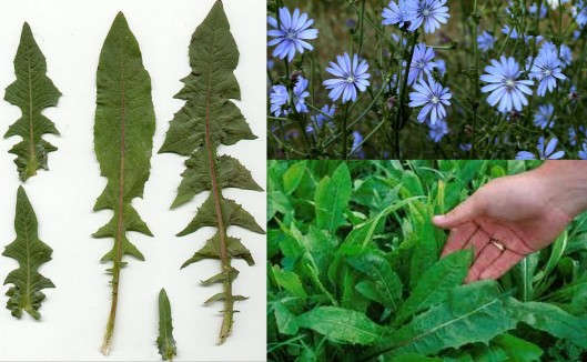Chicory samples