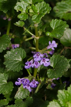 Creeping Charlie (Ground Ivy)