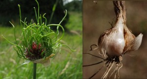 crow garlic