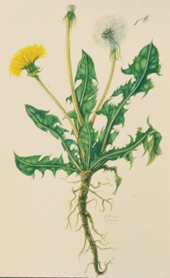 Dandelion (Lion's Tooth)