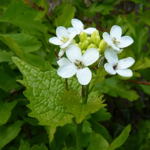 Living Off the Land: 52 Highly Nutritious, Wild-Growing Plants You Can Eat Garlic-mustard-jack-by-the-hedge