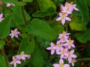 Living Off the Land: 52 Highly Nutritious, Wild-Growing Plants You Can Eat Herb-robert-bloodwort
