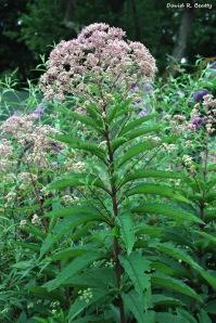 Joe Pye Weed (Gravel Root) EupatoriumFistulosum