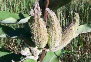 Milkweed (Silkweed) Asclepias syriaca