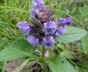 Self Heal (Heal All) Prunella vulgaris