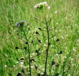 Living Off the Land: 52 Highly Nutritious, Wild-Growing Plants You Can Eat Shepherds-purse-ladys-purse-capsella-bursa-pastoris-l-medic
