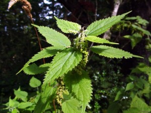 Stinging Nettle (Nettle) Urtica dioica
