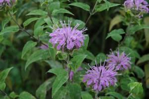 Wild Bee Balm (Wild Bergamot)