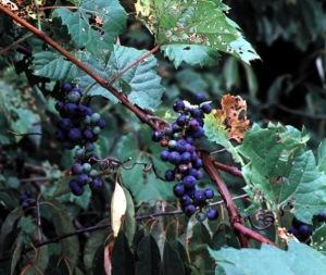 Wild Grape Vine (Riverbank Grape) Vitis riparia
