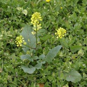 Wild Mustard - sinapis arvensis