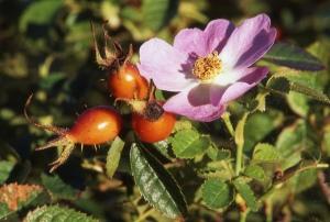 wild rose w hips