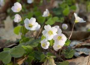 Wood Sorrel (Oxalis) Oxalis spp.