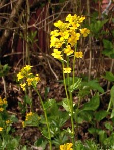 Yellow Rocket (Wintercress) Barbarea vulgaris