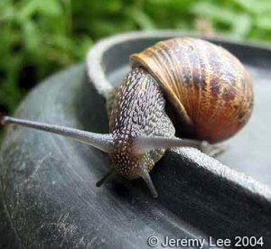 H.aspersa- grey snail