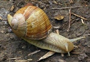 Helix pomatia - Roman snail
