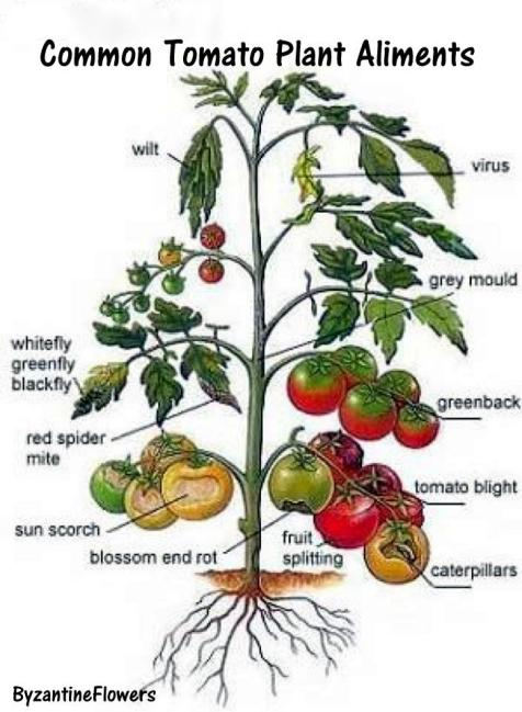 tomato trouble
